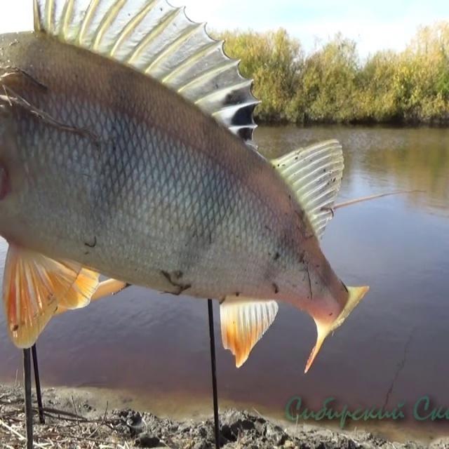 Рыбалка на Окуня Ловля на Донки Окунь Горячего Копчения
