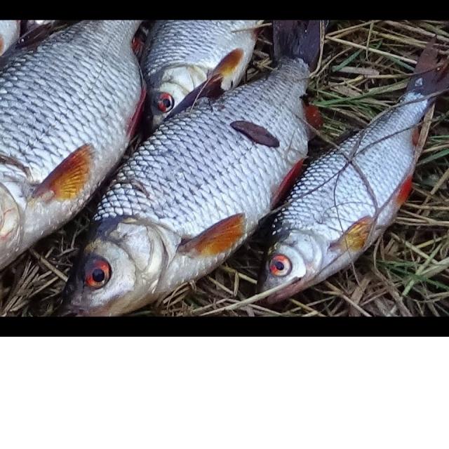 СЕКРЕТЫ ловли КРУПНОЙ  плотвы осенью. Ловля на поплавок.