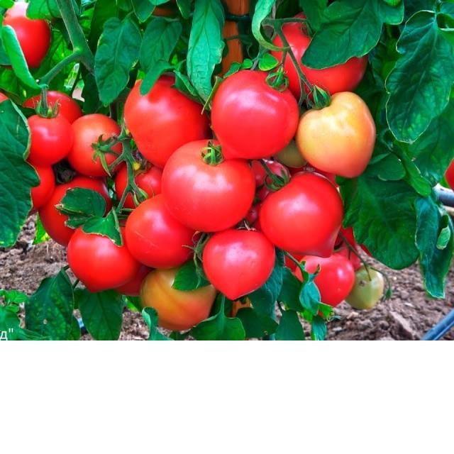 Томат Папина Дочка Обязательно посадите этот томат Урожайный огород