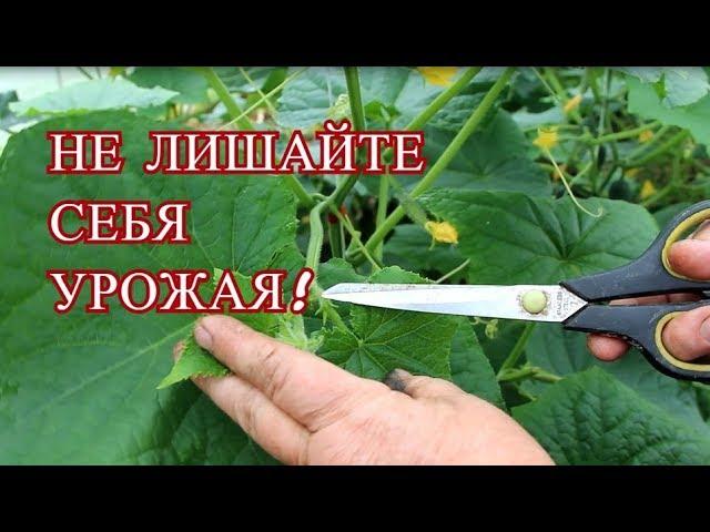 Выращивание огурцов формирование огурцов в теплице Юлия Миняева