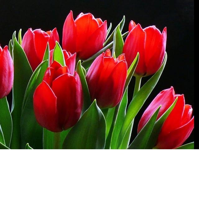 Рисуем красивый цветок Тюльпан