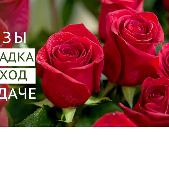 Розы на даче: посадка и уход