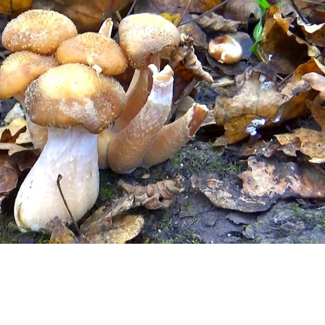 За грибами  За опятами, очень много грибов!
