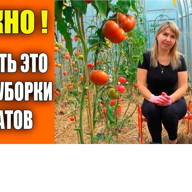 Сразу сделайте это после уборки томатов Урожайный огород