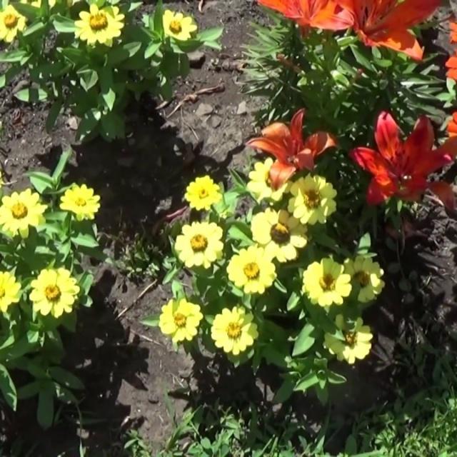 Сад Огород своими руками ЭТА ПРЕКРАСНАЯ ЦИНИЯ! КАРЛИКОВЫЙ СОРТ УДИВИТЕЛЬНОЙ КРАСОТЫ-МОНИКА!