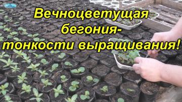 Выращиваете вечноцветущую бегонию? Тогда это видео специально для Вас!