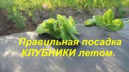 Юлия Минаева -  Правильная посадка КЛУБНИКИ летом.