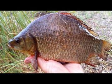 Рыбалка на крупного карася / Секреты ловли