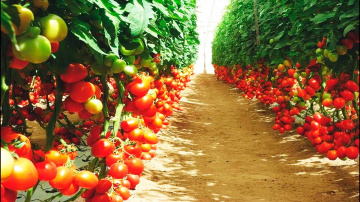Томаты отличный способ выращивания без пикировки