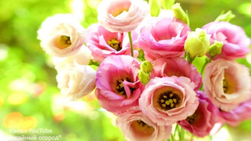 Эустома (ирландская роза) выращивание из семян правильный посев Урожайный огород