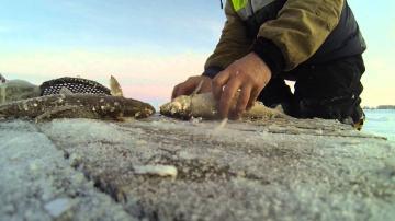 Зимняя рыбалка, приготовление скоросолки из рыбы