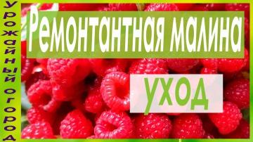 Урожайный огород УХОД ЗА РЕМОНТАНТНОЙ МАЛИНОЙ!