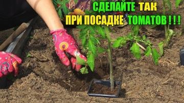 Сделайте так при посадке томатов положите это в лунку и подкормки будут не нужны