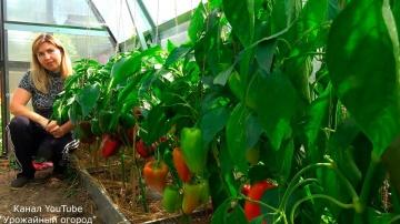Лучшие сорта перца Урожайный огород