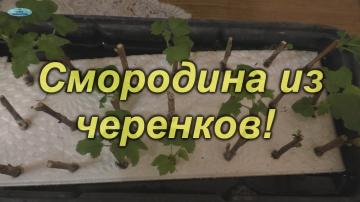 """Размножение смородины """"на воде""""- что получилось"""