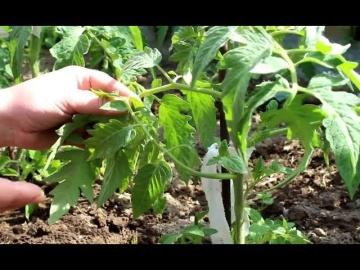 САЖАТЬ ТОМАТЫ В ГРУНТ ТОЛЬКО ПО ЭТИМ ПРАВИЛАМ | Урожайный Огород