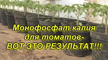 Рассада томатов + монофосфат калия=приземистые растения