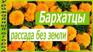 РАССАДА БАРХАТЦЕВ БЕЗ ЗЕМЛИ | Урожайный огород