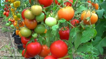 Урожайный огород Эти томаты я буду сажать обязательно новинки этого года