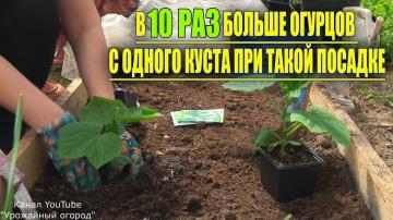 В 10 РАЗ БОЛЬШЕ ОГУРЦОВ С ОДНОГО КУСТА ПРИ ТАКОЙ ПОСАДКЕ  | Урожайный Огород