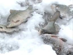 Рыбалка на крупного зачетного карася в зимнее время Как ловить карасей зимой