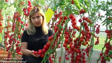 Лучшие томаты для заготовок и консервации
