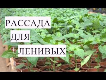 Выращивание ПЕРЦА БЕЗ ПИКИРОВКИ/Юлия Минаева РАССАДА ДЛЯ ЛЕНИВЫХ