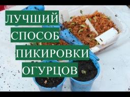 Юлия Минаева Лучший Способ Пикировки Огурцов | Крепкая Рассада - Богатый Урожай