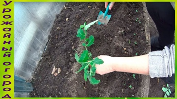 Урожайный огород КАК ПОСАДИТЬ ВЫТЯНУВШУЮСЯ РАССАДУ ТОМАТОВ!ОТЛИЧНЫЙ СПОСОБ!
