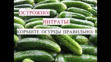 Юлия Минаева Осторожно! Нитраты! Кормите Огурцы Правильно.