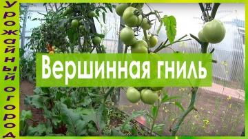 Урожайный огород ЧТО ДЕЛАТЬ,ЕСЛИ ЗАГНИВАЮТ ПЛОДЫ ТОМАТОВ???!!!ПРОСТОЙ СПОСОБ!