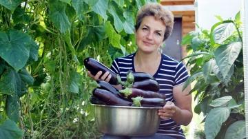 Выращивание баклажан в домашних условиях|Три золотых правила выращивания баклажанов