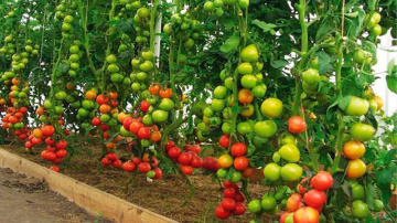 Большой урожай томатов зависит от этого когда как и куда сажать томаты