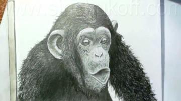 Как нарисовать Шимпанзе карандашом / Учимся рисовать Шимпанзе простым карандашом