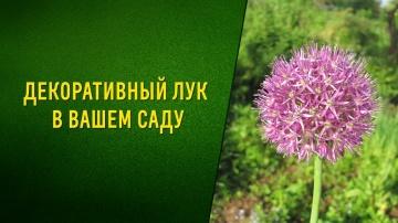 Декоративный лук в вашем саду-Посадка уход сорта