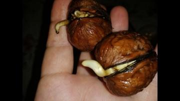 Как самому вырастить грецкие орехи из семян  Самый дешевый способ