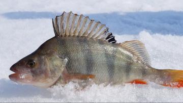 Зимняя рыбалка.Окунь на безмотылку