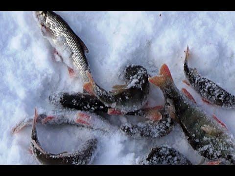 Зимняя рыбалка в Сибири Елец