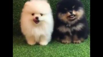 Лучшие Приколы про шпицев    Подборка приколов про собак и щенков померанских шпицев #3