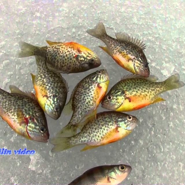 Зимняя рыбалка Солнечный окунь на мормышку