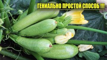 Кабачки узнайте о самом урожайном способе выращивания