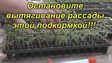 Первая и ОЧЕНЬ важная подкормка рассады томатов