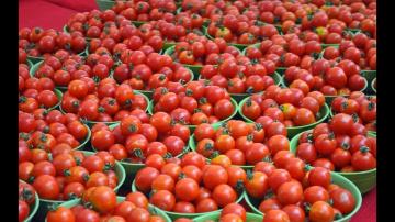 Как получить в 100 раз больше томатов с одного куста