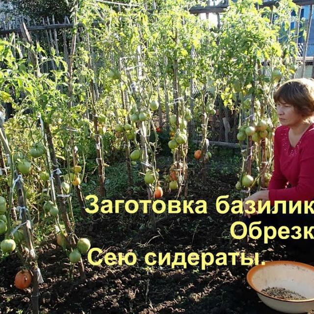 Ольга Уголок -  Дачный влог. Базилик, чеснок и другие дела.
