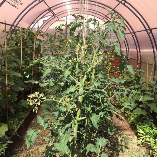 Урожайный огород ВЫРАЩИВАНИЕ ПОМИДОРОВ И ОГУРЦОВ В ОДНОЙ ТЕПЛИЦЕ!СОВМЕЩЕННЫЕ ПОСАДКИ!