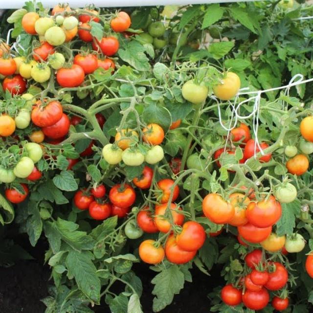 Урожайный огород ВОТ ПОЧЕМУ МОИ ТОМАТЫ ДАЮТ СУПЕР УРОЖАЙ!ДЕЛАЮ ЭТО ВСЕГДА!!!