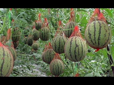 Урожайный огород Способ выращивания кабачков арбузов и дынь