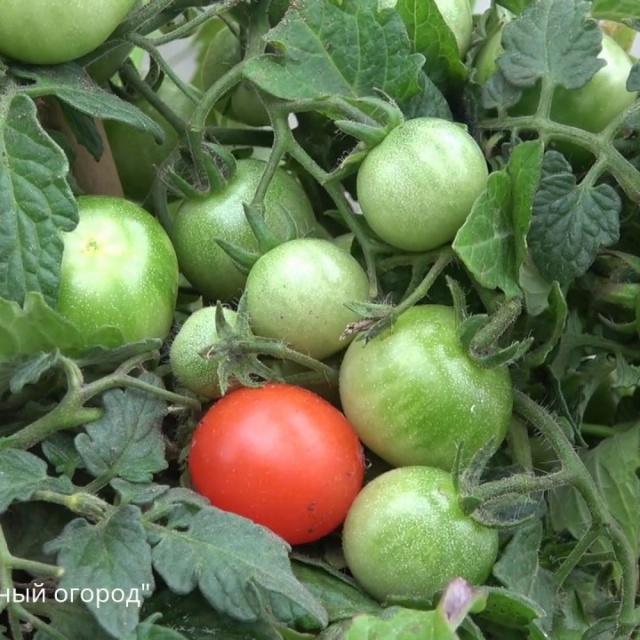 Супер средство для увеличения урожая томатов борная кислота Урожайный Огород