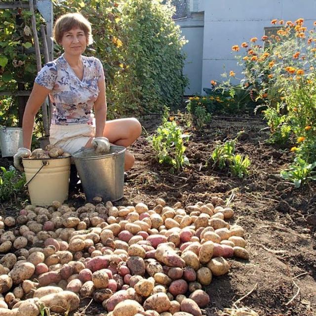 Ольга Уголок -  Дача Урожай картофеля Цветочки