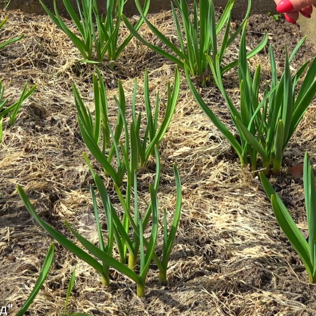Посадки чеснока целыми головками | Урожайный Огород Татьяны 2018